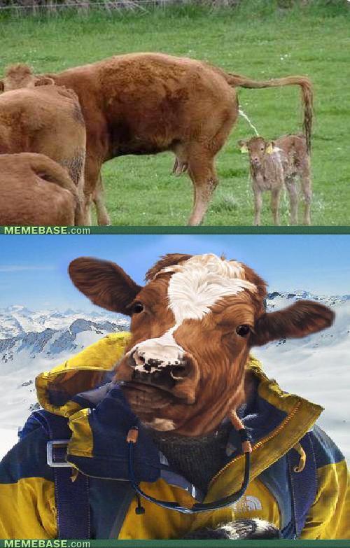 memes-cow-grylls