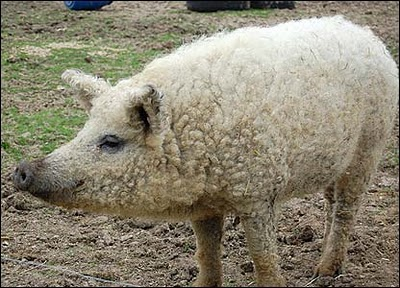 Wooly-pigs4