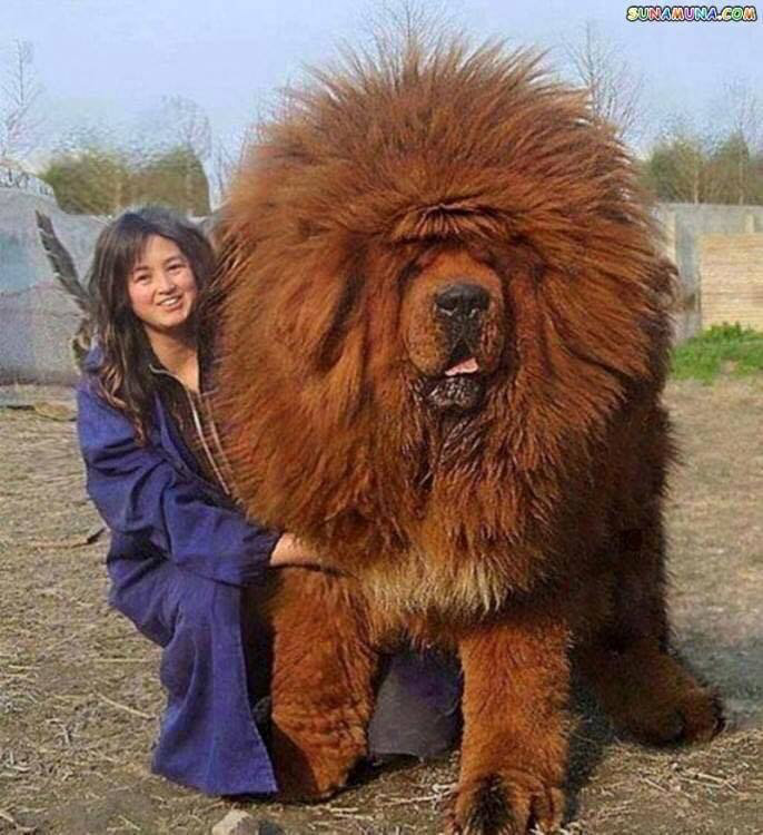 World+s+largest+dog+breeds_66d38f_5613615